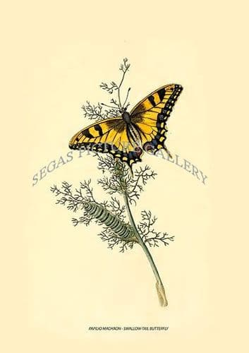 PAPILIO MACHAON - SWALLOW-TAIL BUTTERFLY