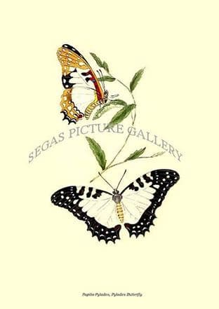Papilio Pylades, Pylades Butterfly