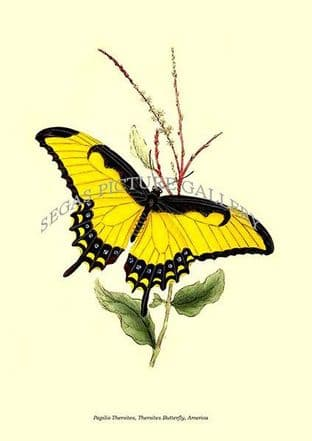Papilio Thersites, Thersites Butterfly, America