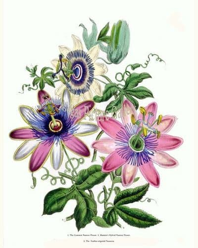 Fine art print of the Common Passion Flower, Masters's Hybrid Passion Flower, Feather-stipuled Tacsonia by Mrs Webb Loudon