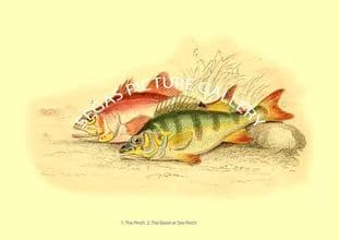 Perch - Basse or Sea Perch