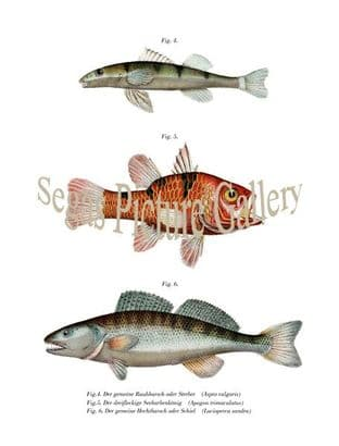 Perch, Freshwater and Pike; Cardinal Fish
