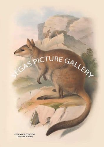 PETROGALE CONCINNA - Little Rock Wallaby