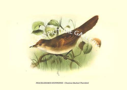 PHACELODOMUS RUFIPENNIS - Chestnut-Backed Thornbird