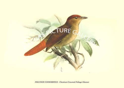 PHILYDOR CONSOBRINUS - Chestnut-Crowned Foliage-Gleaner