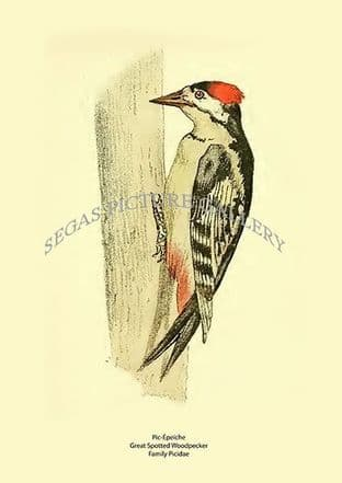 Pic-Épeiche - Great Spotted Woodpecker -  Family Picidae
