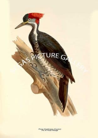 Picus Erythrops (Cuvier) --- Pic À Face Rouge