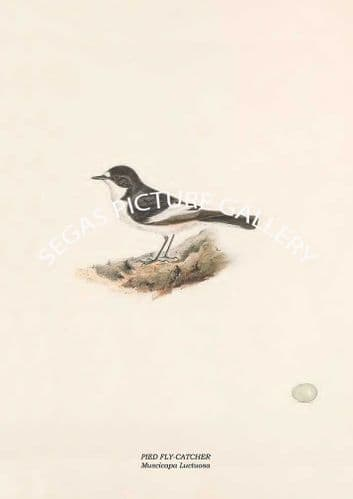 PIED FLY-CATCHER - Muscicapa Luctuosa