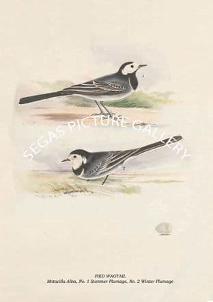 PIED WAGTAIL - Motacilla Alba, No. 1 Summer Plumage, No. 2 Winter Plumage