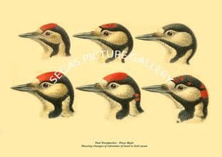 Pied Woodpecker - Picus Major, changes in colouration of head