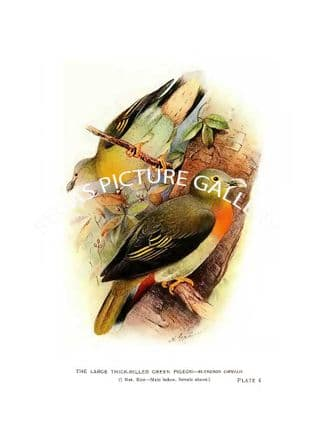 Pigeon, the Large Thick-Billed Green