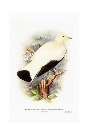 Pigeon, the Pied Imperial
