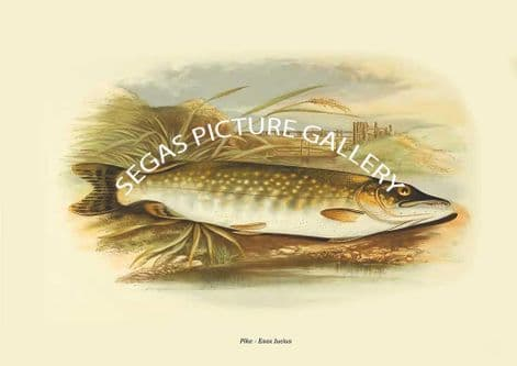Fine art print of the Pike - Esox Iucius by the Artist Alexander Francis Lydon (1879)