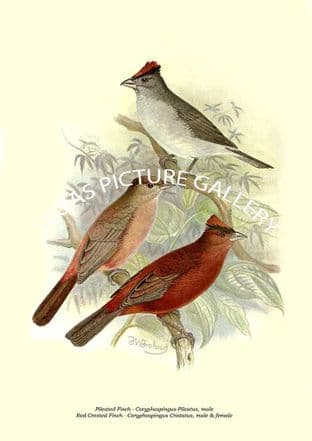 Pileated Finch - Coryphospingus Pileatus, male, Red-Crested Finch - Coryphospingus Cristatus