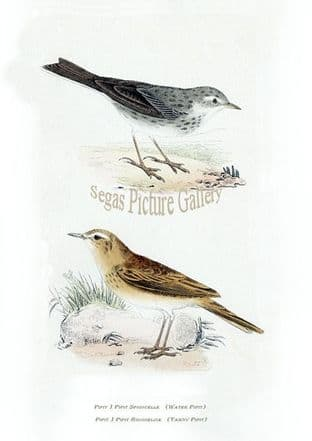 Pipit, Water & Tawny Pipit Ref: EuropeanBirds-e44