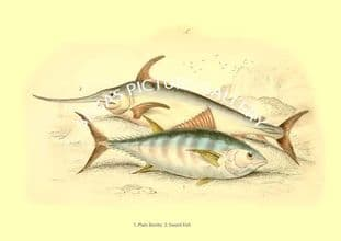 Plain Bonito - Sword Fish