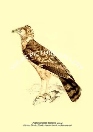 POLYBOROIDES TYPICUS, young - African Harrier-Hawk, Harrier Hawk, or Gymnogene
