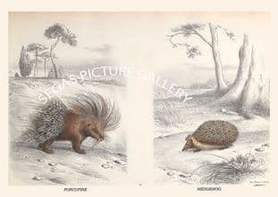 PORCUPINE - HEDGEHOG