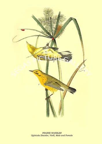 PRAIRIE WARBLER - Sylvicola Discolor, Vieill, Male and Female