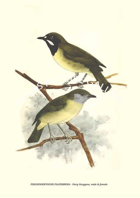Fine art print of the PSEUDOGERYGONE PALPEBROSA - Fairy Gerygone by Richard Bowdler Sharpe (1879)