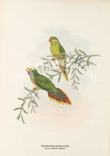PSITTEUTELES SUBPLACENS - Green-backed Lorikeet