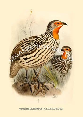 PTERNISTES LEUCOSCEPUS - Yellow-Necked Spurfowl