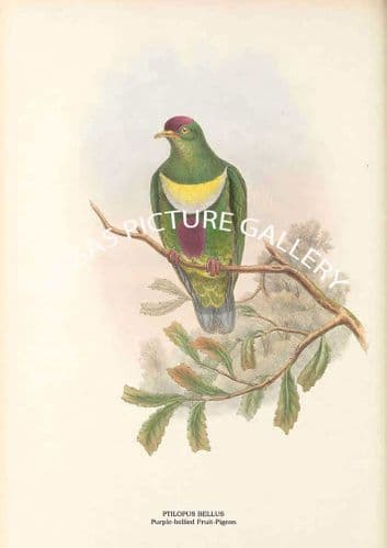 PTILOPUS BELLUS - Purple-bellied Fruit-Pigeon