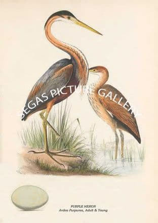 PURPLE HERON - Ardea Purpurea, Adult & Young