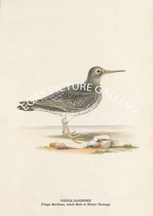 PURPLE SANDPIPER - Tringa Maritima, Adult Male in Winter Plumage