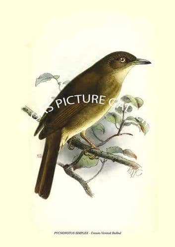 Fine art print of the PYCNONOTUS SIMPLEX - Cream-Vented Bulbul by Richard Bowdler Sharpe (1881)