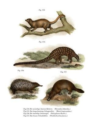 Pygmy (Two-Toed) Anteater  (Myrmidon Didactilus) & Long-Tailed Pangolin  (Manis Longicaudata) & Spiny Anteater  (Tachyglossus Hystrix) & Platypus  (Or
