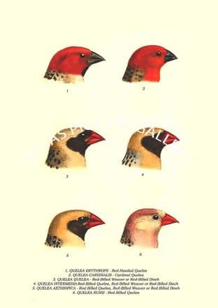 QUELEA ERYTHROPS - Red-Headed Quelea, CARDINALIS, QUELEA - Red-Billed, Quelea, AETHIOPICA, RUSSI