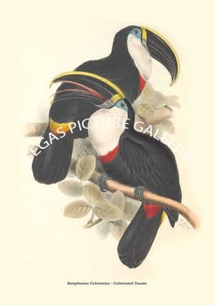 Ramphastos Culminatus - Culminated Toucan