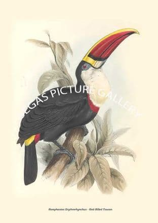 Ramphastos Erythrorhynchus - Red-Billed Toucan
