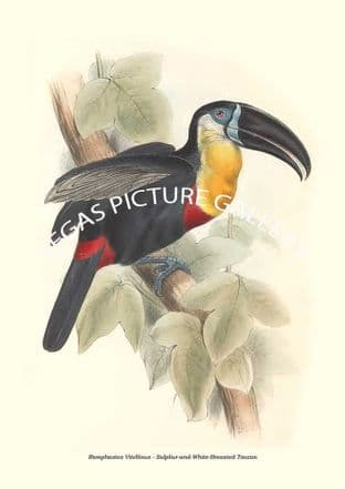 Ramphastos Vitellinus - Sulpliur-and-White-Breasted Toucan
