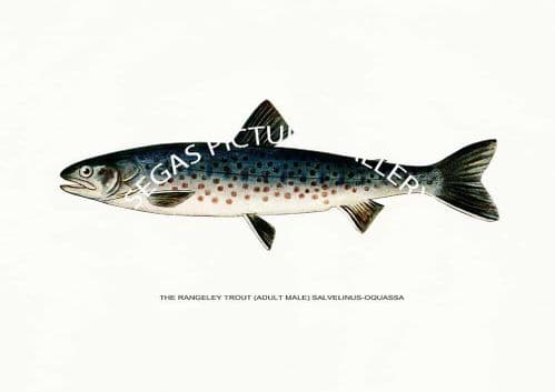 Fine art print of the Rangeley Trout (Adult Male) Salvelinus-Oquassa by H H Leonard (1914)