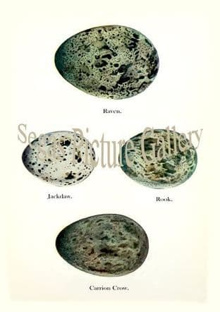 Raven, Jackdaw, Rook, Carrion Crow Eggs