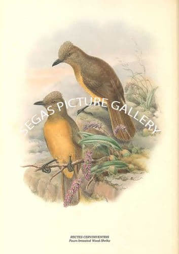 RECTES CERVINIVENTRIS - Fawn-breasted Wood-Shrike