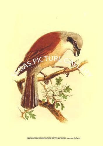 Fine art print of the RED-BACKED SHRIKE (TRUE BUTCHER BIRD) - Lanius Collurio by Cassell (1860)