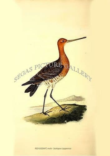 RED GODWIT, male - Scolopax Lapponica
