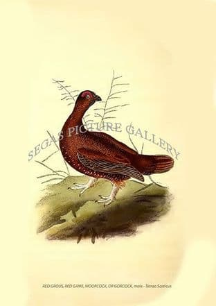 RED GROUS, RED GAME, MOORCOCK, OR GORCOCK, male - Tetrao Scoticus