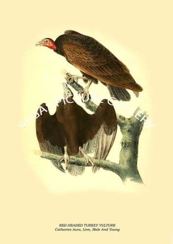 RED HEADED TURKEY VULTURE - Cathartes Aura, Linn, Male And Young