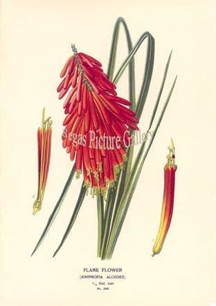 Red Hot Poker; Flame Flower (Kniphofia Aloides)