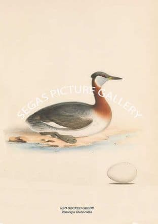 RED-NECKED GREBE - Podiceps Rubricollis