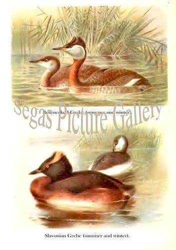 Red-necked Grebe & Slovonian Grebe