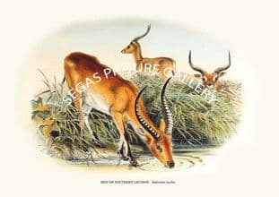RED OR SOUTHERN LECHWE - Adenota Leche