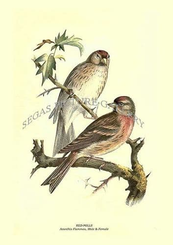 RED-POLLS - Acanthis Flammea, Male & Female