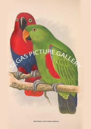 Red-Sided or New Guinea Eclectus