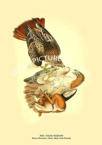 RED- TAILED BUZZARD - Buteo Borealis, Gmel, Male And Female