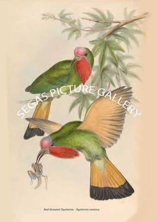 Red-throated Nyctiornis - Nyctiornis amictus
